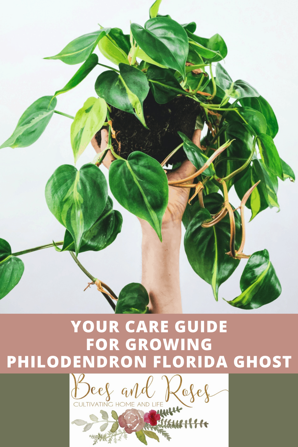 Beesandroses.com is your new guide to all things garden related! Find all all you need to know about growing healthy, thriving plants! Find out how to care for philodendron Florida ghost today!