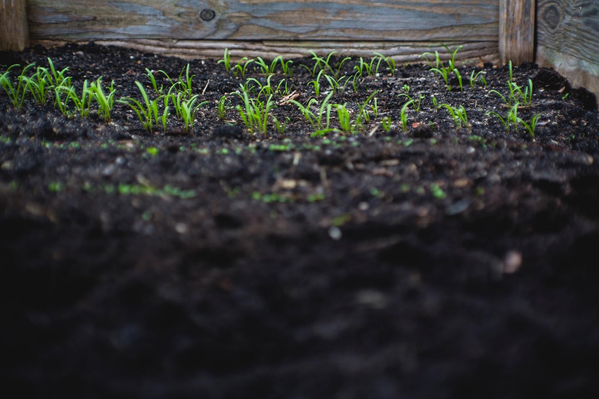 Calamansi planting - soil requirements