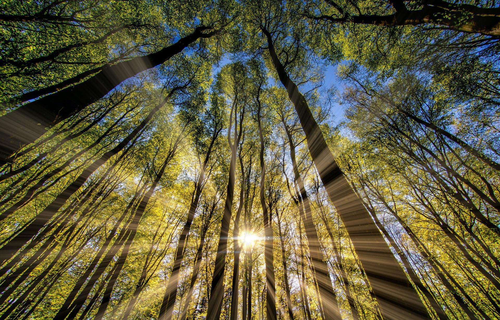 Calamansi planting - sunlight requirements
