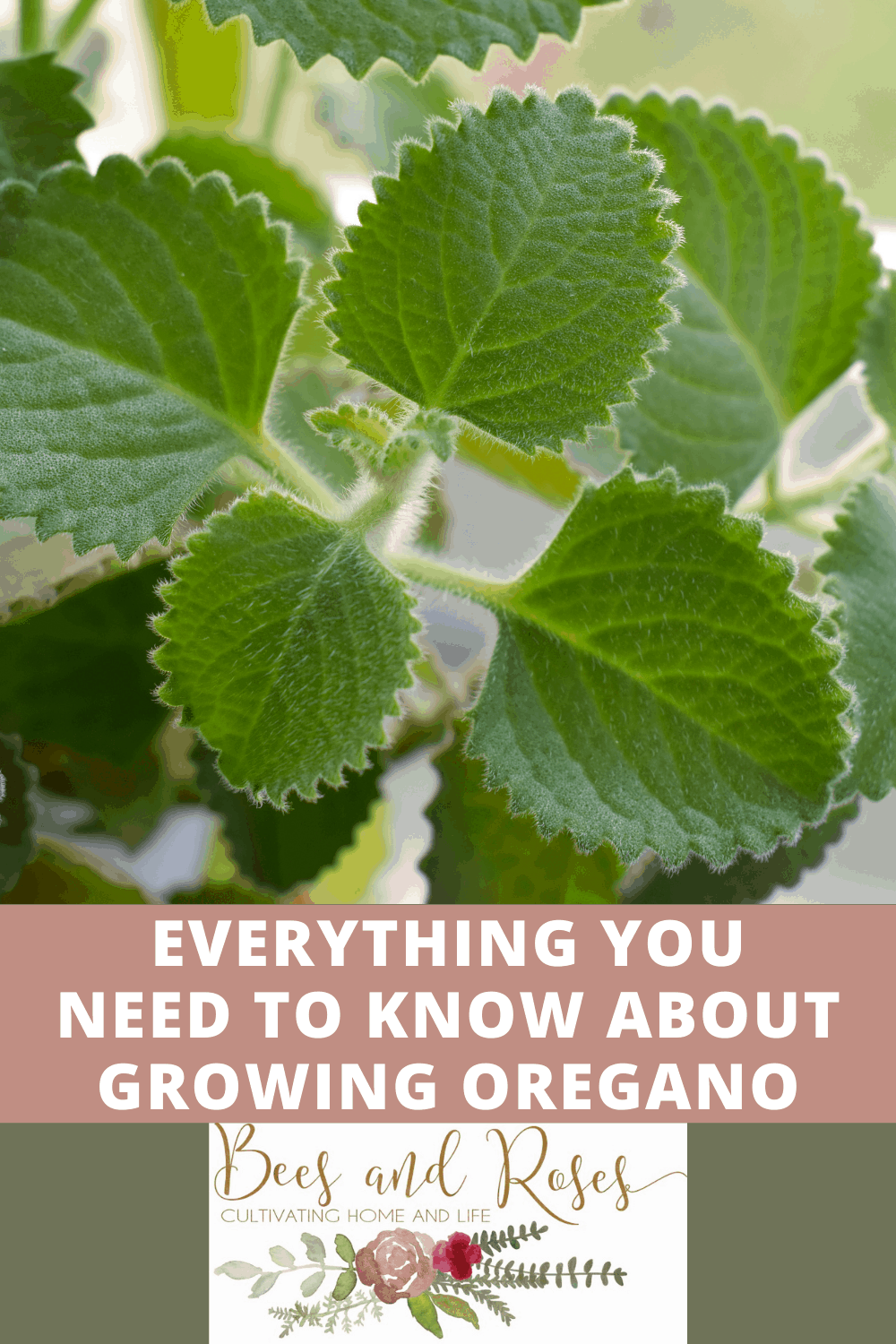 Beesandroses.com is your new guide to all things garden related! Find all all you need to know about growing healthy, thriving plants! Find out how to care for Cuban oregano today!