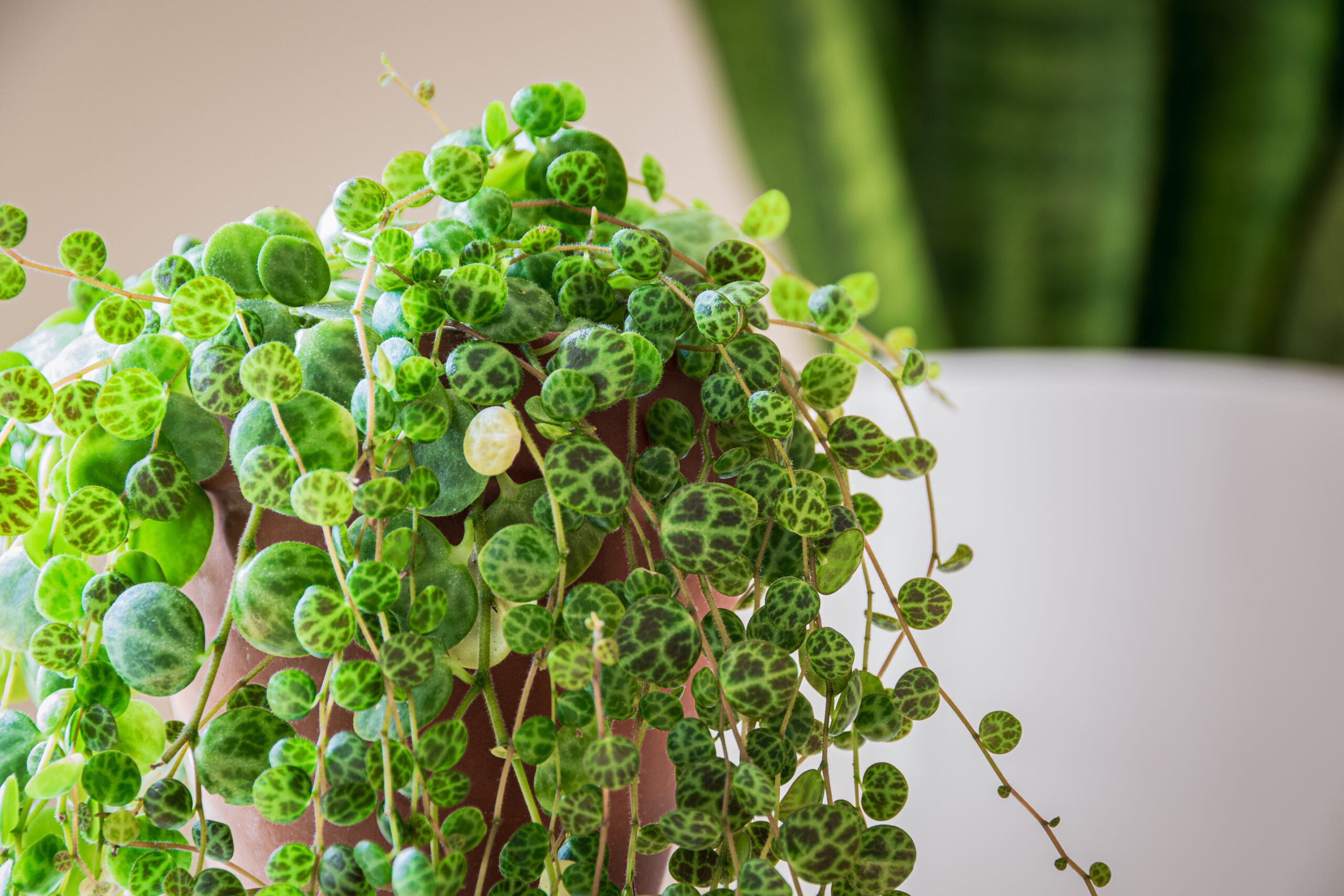 Peperomia prostrata - the scientific name for the String of Turtles plant