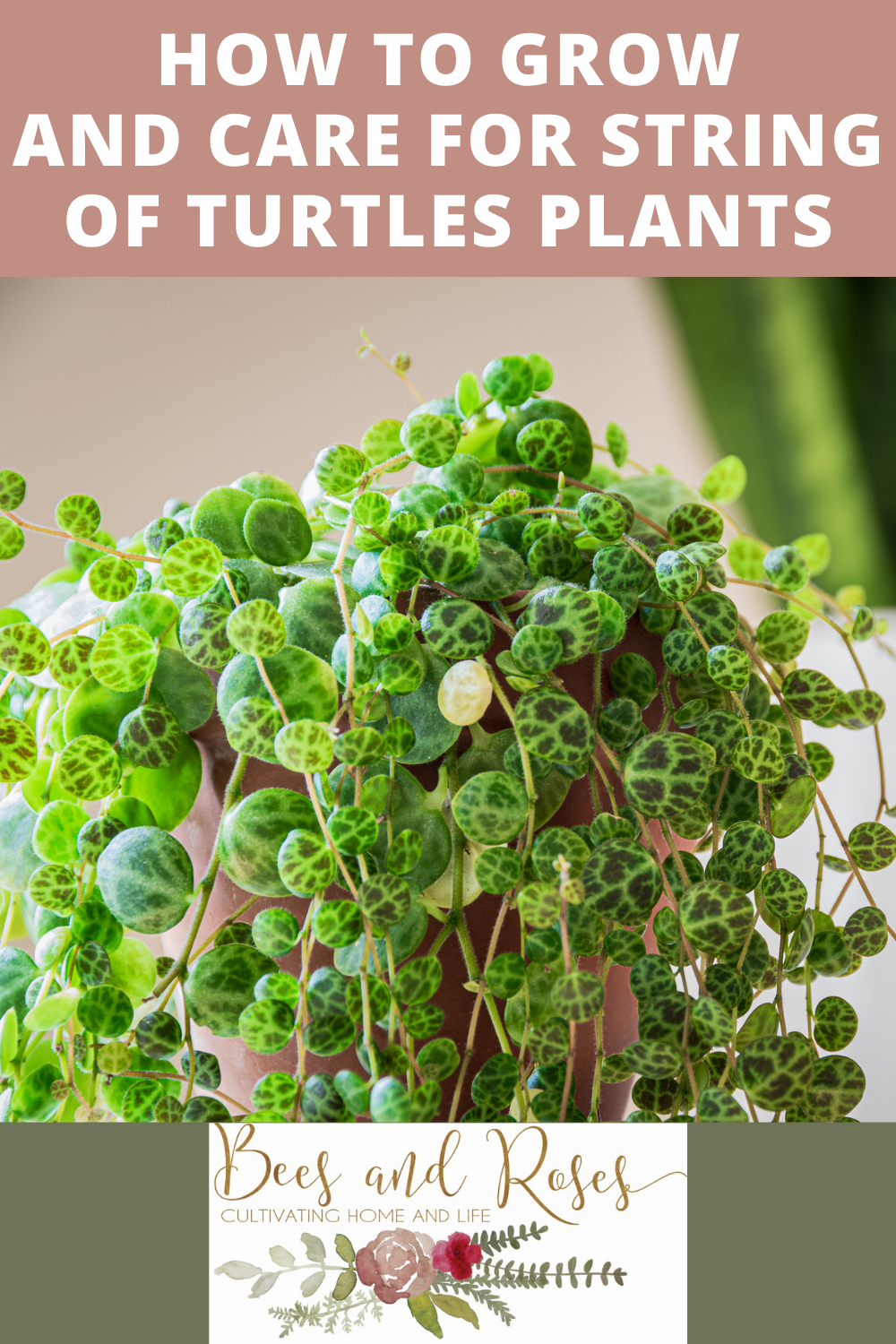 How to grow and care for the String of Turtles plant