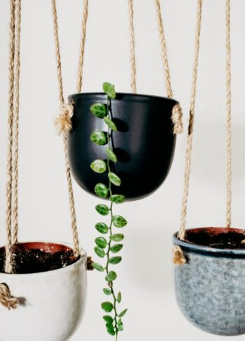 A trail of green leaves from String of Turtles, hanging from a black pot