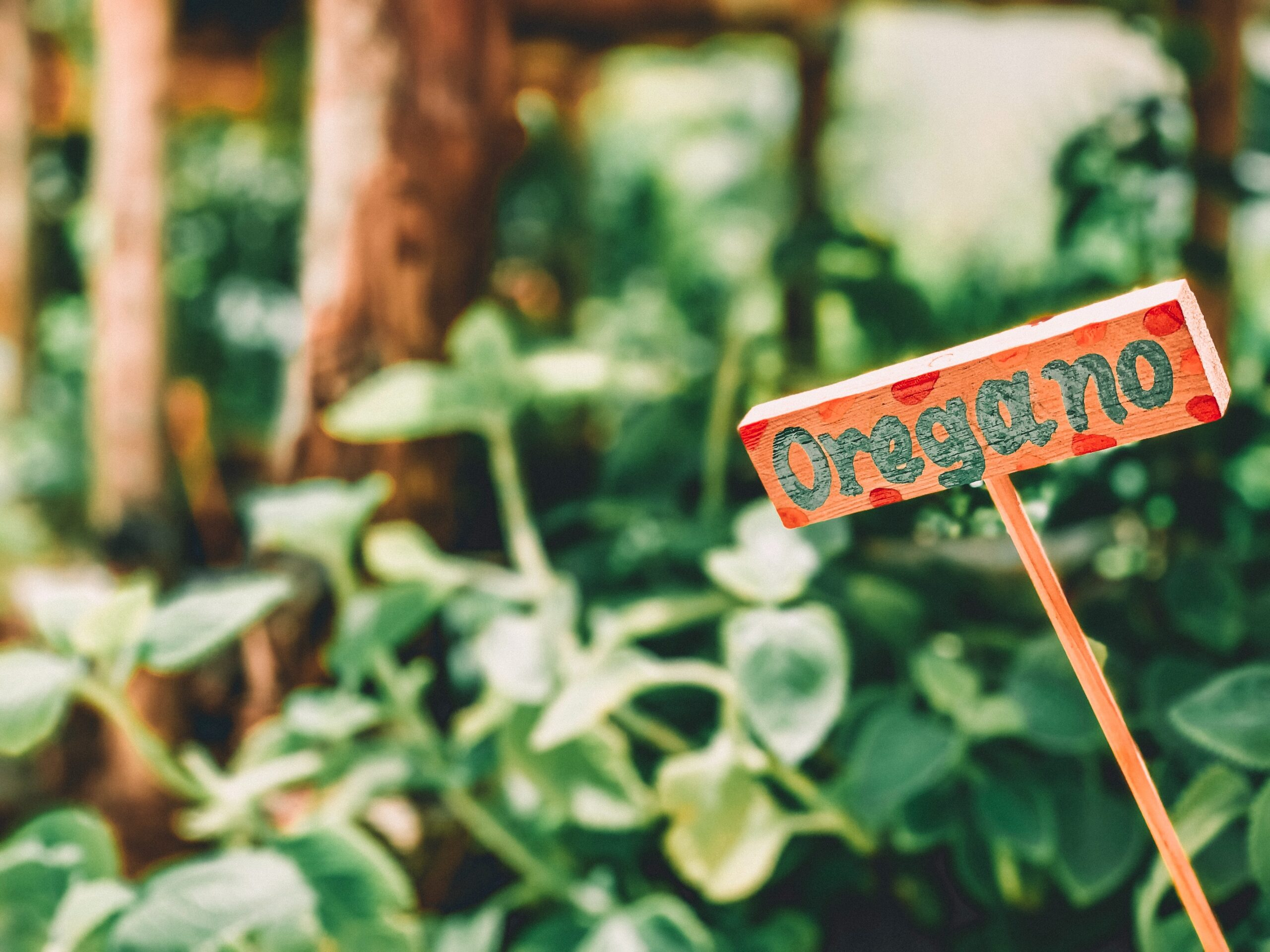 What you need to know about cuban oregano