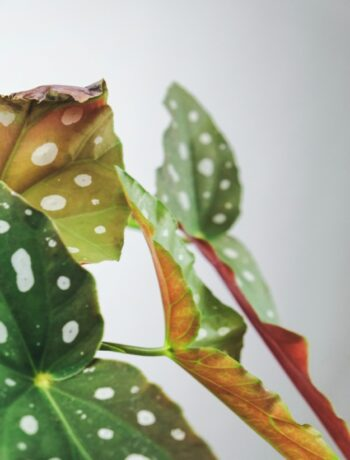 Creating the perfect weather conditions for the begonia maculata plant